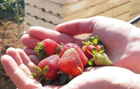 מרום גולן: תותים מתוקים לחודשי הקיץ