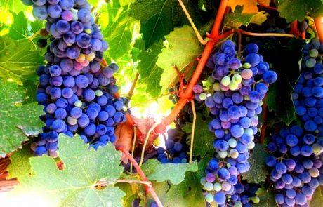 נפתחה עונת בציר ענבי היין ביקב הרי גליל