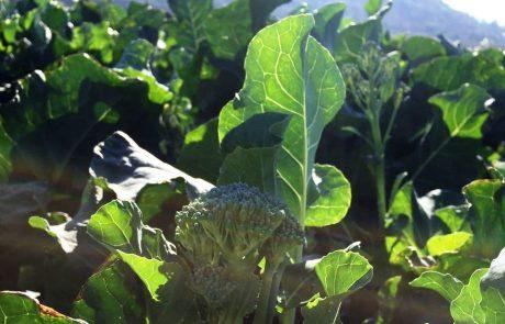 בשורה חקלאית נוספת מגיעה בסיום חודשי הקיץ, מענף החקלאות במרום גולן
