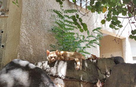 חתול הכפר – חתול העיר