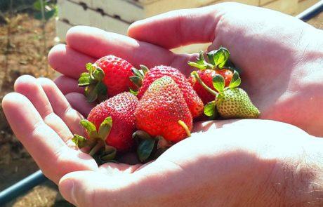 תותי שדה בקיץ?
