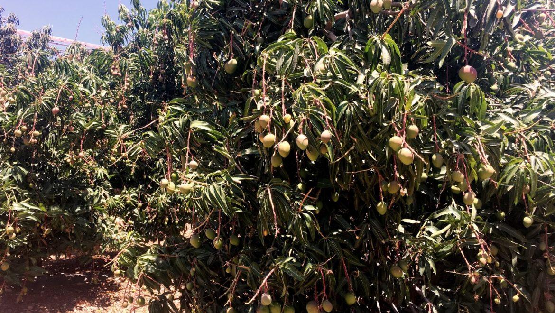 מחקר חדש הוביל לגידול משמעותי ביבול המנגו