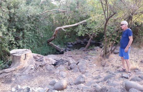 כריתת עצי אקליפטוסים בגולן ובכינרת