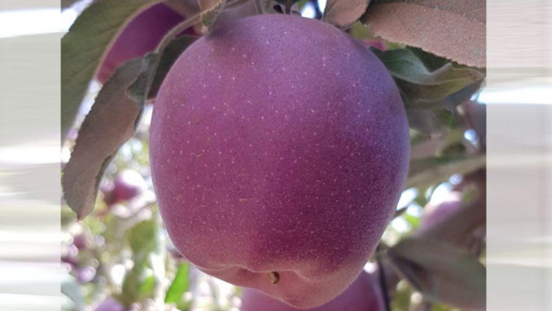 עלייה ביבול התפוחים